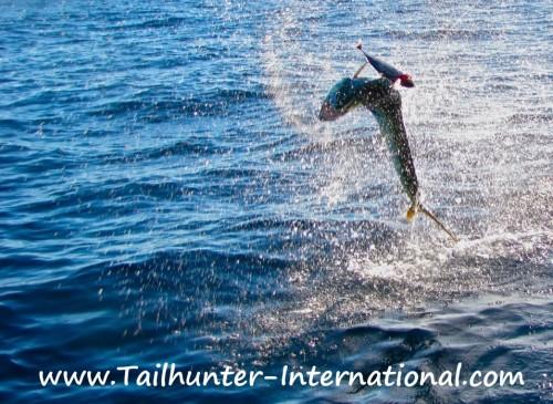 jumping dorado tags 12-12
