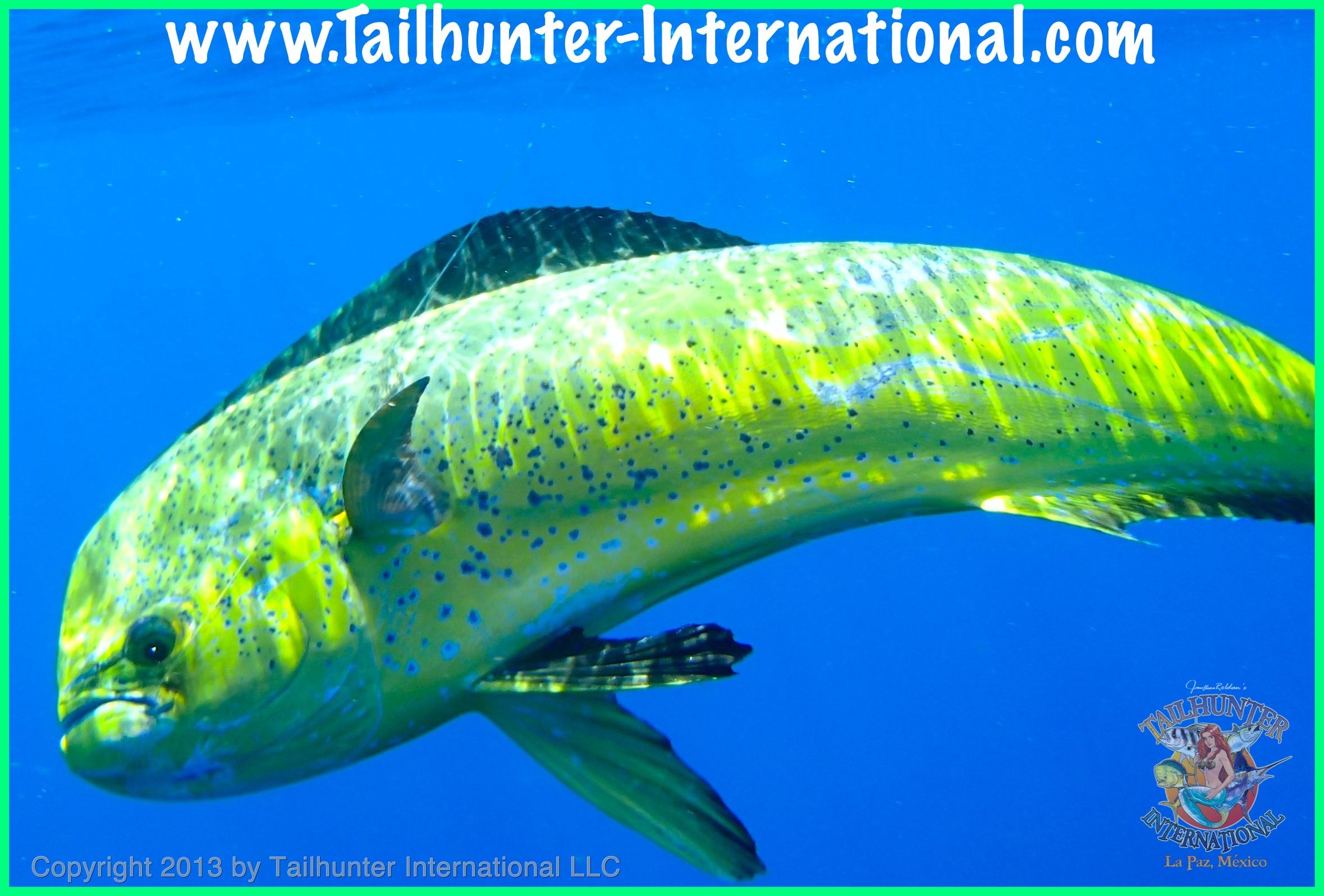 Dorado Fish Underwater | www.pixshark.com - Images ...