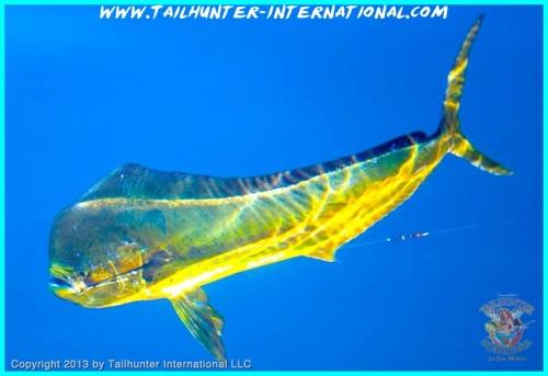 dorado underwater tags 10-13