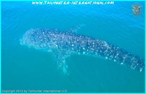 whaleshark tags 10-13