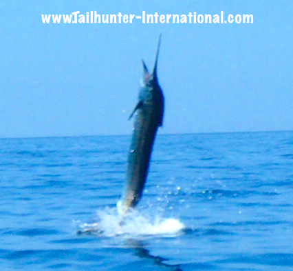 marlin jumping tags