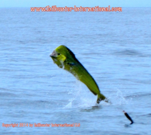 jumping dorado tags small 7-14