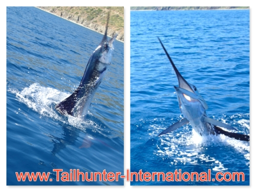 sailfish collage tags 10-14