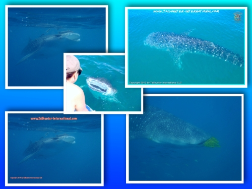 Whaleshark collage 10-14