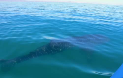 whaleshark small