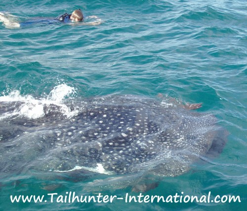 whaleshark 1 tags 11-12