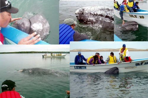 We are smack in the middle of the migration of the gray whales and our whalewatching trips to Magdalena Bay. Ask us about our daily trips! This is a great family opportunity to get up close with these gentle giants!