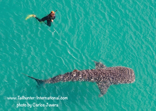 Whalesharks are now in the bay in the shallow water just a few hundred yards from the malecon. We're running trips to go swim with the whalesharks now. Ask us about this incredible adventure!