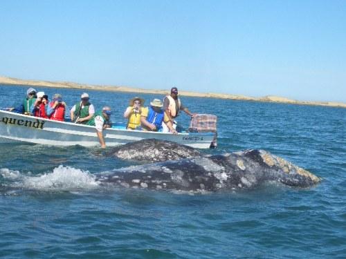 ballena-gris-15
