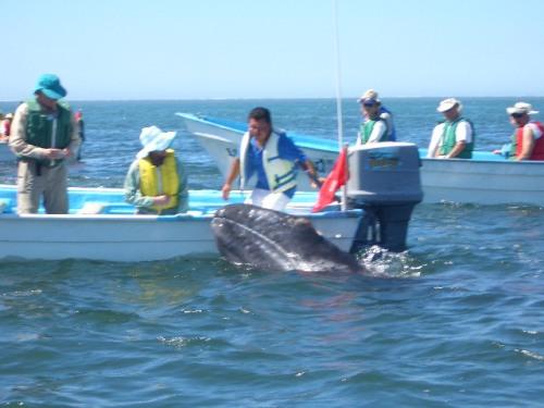 ballena-gris-16